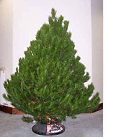 Scots pine christmas tree real christmas tree