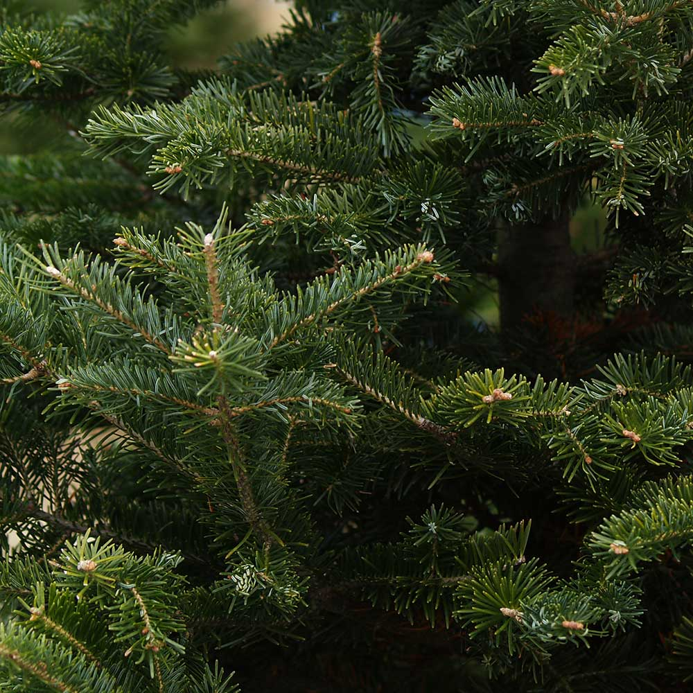 Fraser Fir Christmas Trees: Fraser Fir Real Christmas Trees