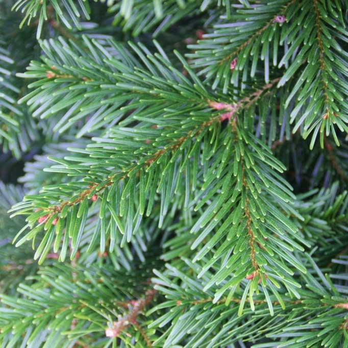 Nordmann fir real christmas tree available today