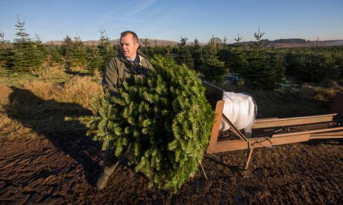 Netting a Real Christmas Tree for Transportation
