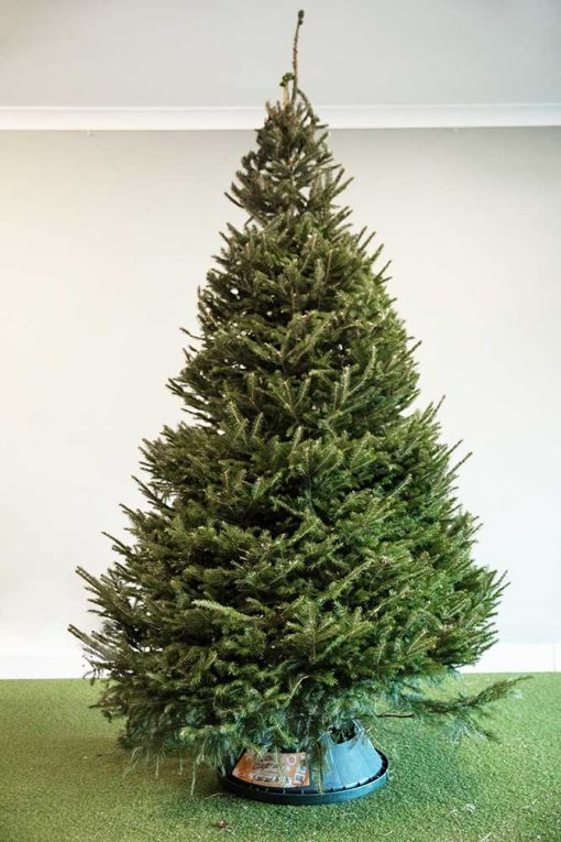 Norway Spruce Real Christmas Tree - Available on Free Delivery from Edenmill Christmas Trees