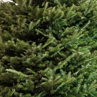 Close Up of Norway Spruce available with free delivery from Edenmill Christmas Trees