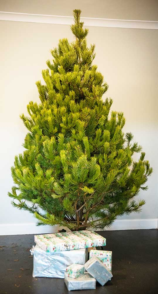Scots Pine Real Christmas Trees   Free Delivery   Direct ...