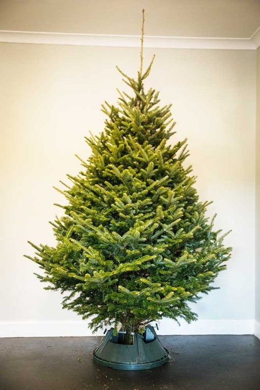 Fraser Fir Real Christmas Tree Full Size Picture