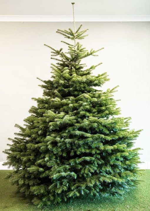 Nordman Fir Real Christmas Tree available with Free Delivery from Edenmill Christmas Trees