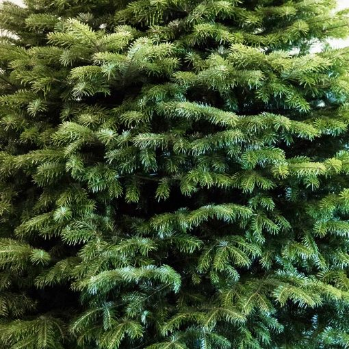 Nordman Fir Real Christmas Tree Close Up Available from Edenmill Real Christmas Trees