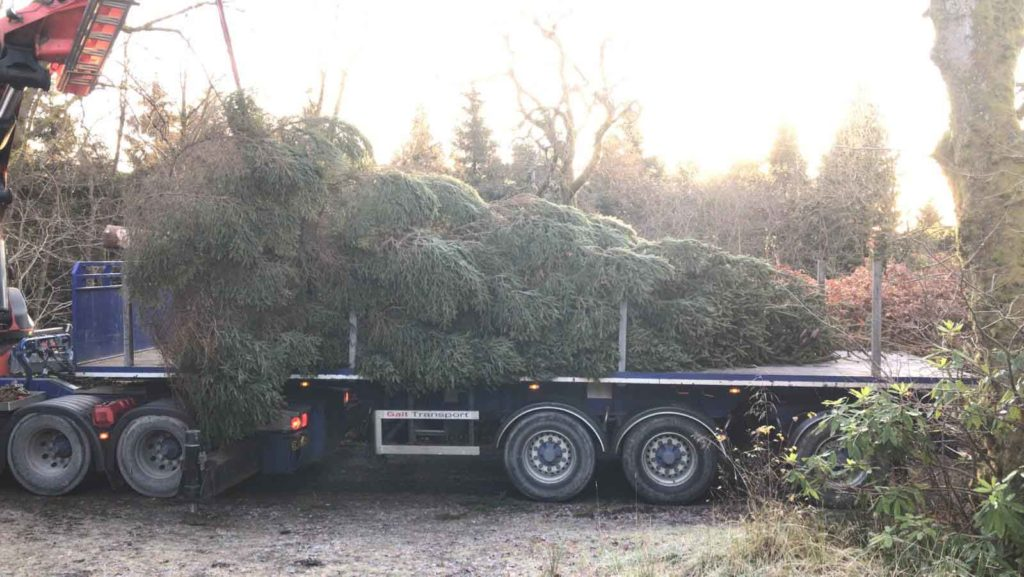 Reak Christmas Tree for Glasgow Celtic now safely on truck for Transport