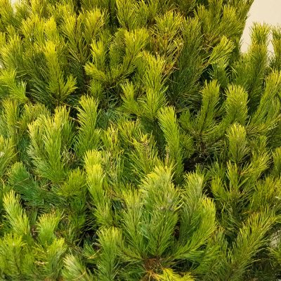 Close Up of our Scots Pine Christmas Tree Available to order today with Free Delivery